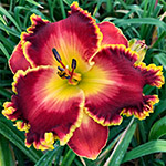 2020 Daylily - Regal Sunrise